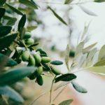 Variedades de aceite de oliva virgen extra